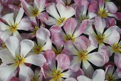 Tulip Flaming Purissisma Fosteriana Group-het bloeien stock afbeeldingen