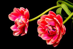 Tulip Floral-Anordnung Lizenzfreie Stockbilder