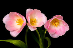 Tulip Floral Arrangement. Isolated over a black background Royalty Free Stock Photos