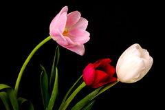 Tulip Floral Arrangement. Isolated over a black background Stock Image