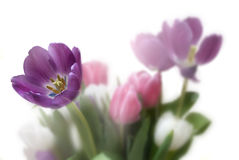 Tulip Floral Background. Royalty Free Stock Photos