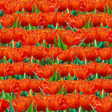 Tulip floral background. Red tulip flowers abstract background, pattern. Digital realistic Illustration. Spring Holiday background with red tulips. For Art, web stock illustration