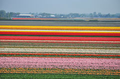 Tulip flourishing in Holland Stock Photography