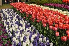 Tulip flourishing in Holland. During the spring time in the Netherlands the tulip flourishing is world famous. Many people visit the well known Keukenhof near Stock Image