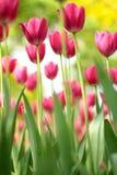 Tulip Flower. ,BeautifulrnClose-uprnStill lifernWith the beatrnRed flowerrnBright stock photo