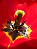Tulip flower. Macro view of  tulip flower Royalty Free Stock Photo