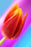 Tulip flower Royalty Free Stock Photos