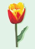 Tulip flower Stock Photo