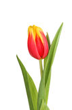 Tulip flower. Red and yellow tulip flower and leaves isolated against white stock image