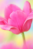 Tulip flower. Close-up of tulip flower on colorful  background Stock Photo
