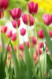 Tulip Flower Fotografia Stock