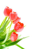 Tulip flower. Isolation on the white Royalty Free Stock Images