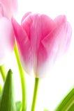 Tulip flower. Royalty Free Stock Photos