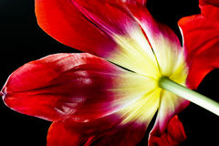 Tulip flower. Last day of a tulip flower stock photo