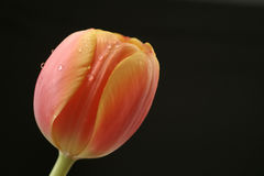 Tulip flower. A beautiful tulip in red & yellow colors with water drops on it, isolated on a black background Stock Photography