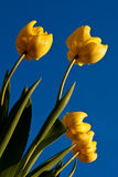 Tulip flower. In spring sun Stock Image