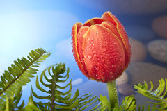 Tulip Flower Background. A red and yellow tulip with drops of water, ferns and a background of stones under water Royalty Free Stock Photo