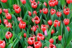 Tulip Flower Background Stockbild