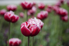 Tulip flower background. Beautiful view of red tulips in garden Stock Image
