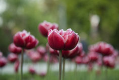 Tulip flower background. Beautiful view of red tulips in garden Stock Photo