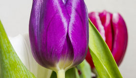 Tulip flower background. Close up view on a pirple tulip flower Stock Photo