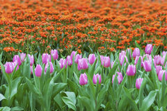 Tulip flower background. Colorful tulip flower in garden Royalty Free Stock Images
