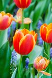 Tulip flower background, Colorful tulips meadow nature in spring. Close up Stock Photography