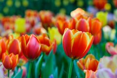 Tulip flower background, Colorful tulips meadow nature in spring. Close up Royalty Free Stock Images