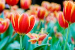 Tulip flower background, Colorful tulips meadow nature in spring. Close up Royalty Free Stock Photography