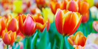 Tulip flower background, Colorful tulips meadow nature in spring. Close up Stock Photos