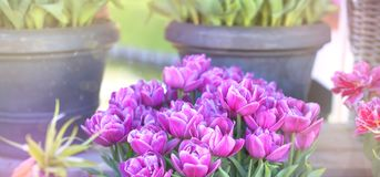 Tulip flower background, Colorful tulips meadow nature in spring.  Stock Image