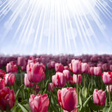 Tulip Flower Background Stock Photo