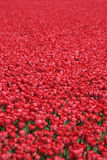 Tulip flower background field red tulips flowers spring in Nethe. Rlands Holland Royalty Free Stock Images