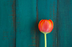 Tulip flower background. Flat lay view of one red Tulip flower on a turquoise wooden table background. Women holiday concept. copy space Royalty Free Stock Photography