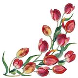 Watercolor red tulips corner on a white background. Floral pattern for desig. Tulip flower background hand illustration color pencil plants   pattern floral Royalty Free Stock Image