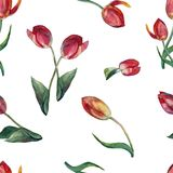 Watercolor red tulips on a white background. Floral seamless pattern for design. Tulip flower background hand illustration color pencil plants  seamless pattern Royalty Free Stock Image