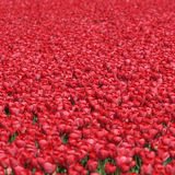 Tulip flower background red tulips flowers spring in Netherlands. Holland Stock Photography