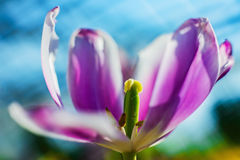 Tulip- flower background. Spring time of flowering tulips. Decoration- flower background Royalty Free Stock Image