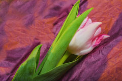 Tulip- flower background. Spring time of flowering tulips. Decoration- flower background. Photo used for printing on large format canvas Stock Photography