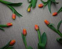 Tulip flower background studio quality. Light wooden background Stock Photos