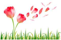 Tulip flower Royalty Free Stock Images