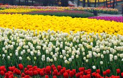Tulip flower bed Stock Photo