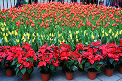 Tulip flower bed Stock Images