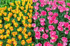 Tulip flower bed. Scagit Valley Tulip Festival in Washington. Royalty Free Stock Image