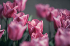 Tulip Flower Bed in Spring Royalty Free Stock Image
