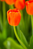 Tulip flower blooming in spring season Royalty Free Stock Photography