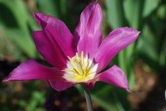 Tulip Flower Blossom Blooming rose foncée simple parfaite Photos stock