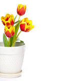 Tulip flower border. Spring tulip flower border in a white pot isolated on white royalty free stock photos
