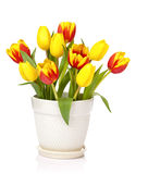 Tulip flower border. Beautiful Yellow and red tulip flowers in a pretty pot on a white background stock image