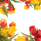 Tulip Flower Border Stock Photo